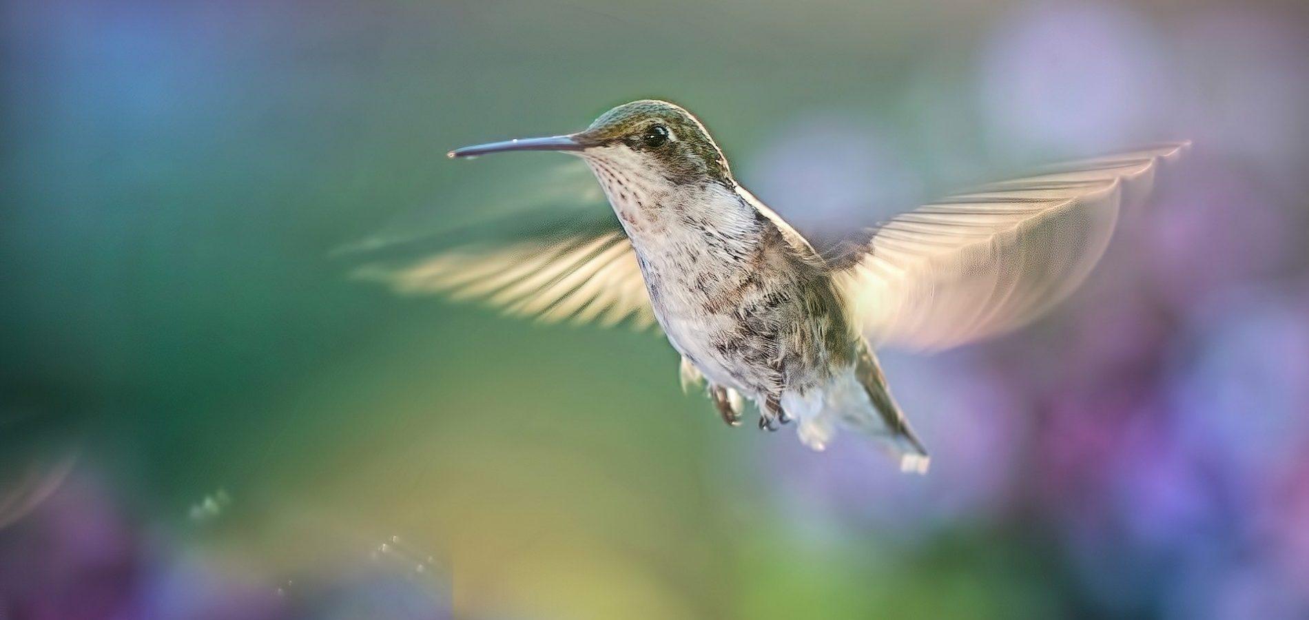 hummingbird-5477966_1920